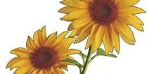 绝地求生刺激战场向日葵怎么获得 向日葵获取方式