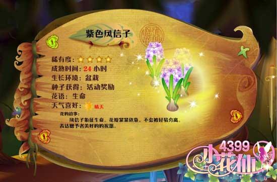 小花仙紫色风信子 紫色风信子花种