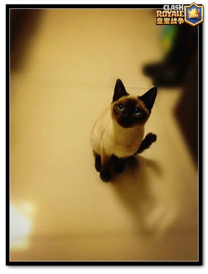 皇室战争帽子的猫