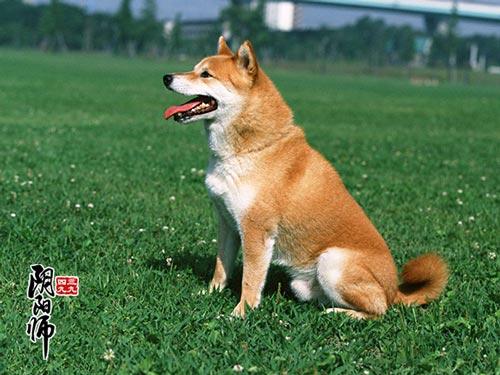 阴阳师三尾狐信物
